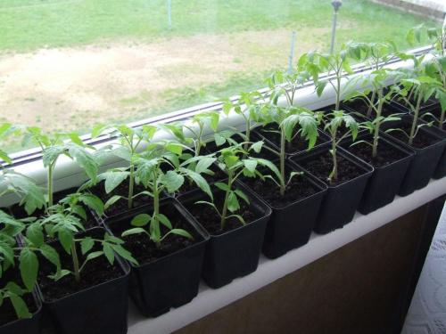Zobacz Wątek Pikowanie Pomidorów Cz2