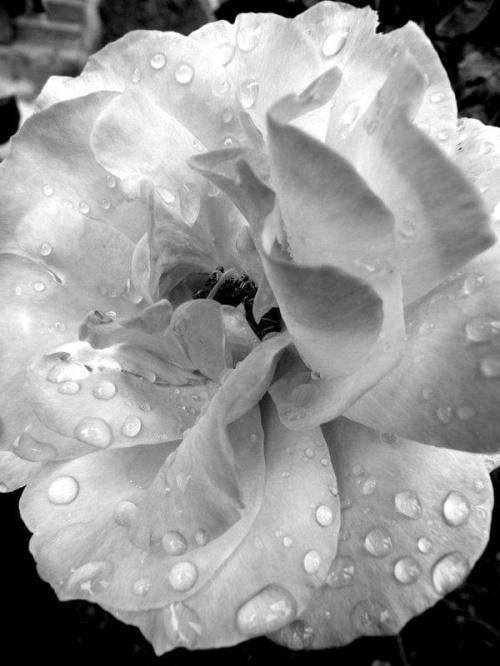 #róża #kwiat