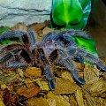 Grammostola rosea L10 #pająk #ptasznik #ptaszniki #rosea #terrarium