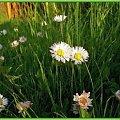 Namalowane-łąka pełna stokrotek #namalowane #inaczej #przeróbki #stokrotki #łąka