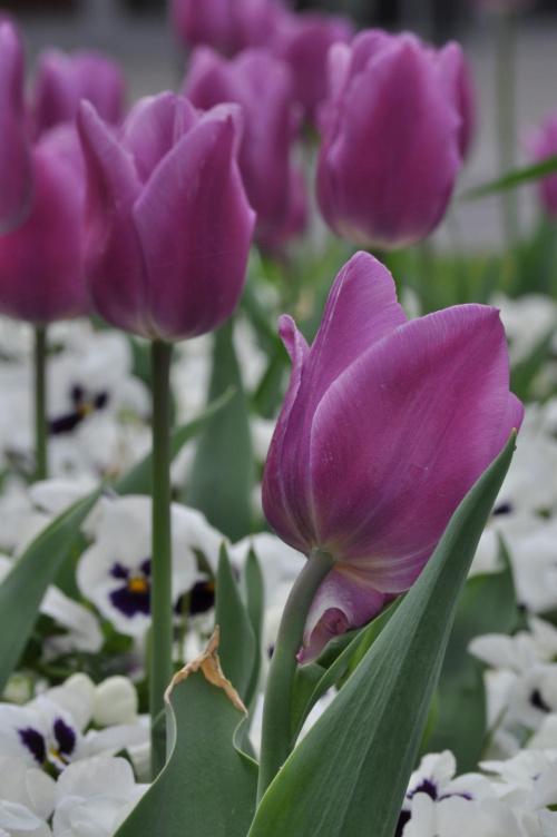 #tulipan #kwiaty #wiosna #fiolet #przyroda #DzienKobiet #wielkanoc #kwiatek