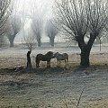 #konie #wierzby #łąka #szron #zima #polana #natura #krajobraz