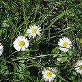 #kwiaty #stokrotki