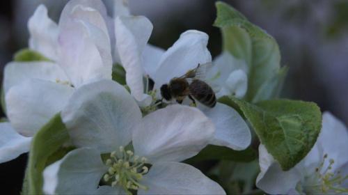 bzzz...... #wiosna #pszczoła #jabłoń #drzewo