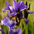 weekend na łące... #kwiat #kwiaty #ogród #rośliny #fiolet #fioletowy
