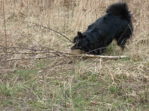 ...ta będzie dobra, muszę tylko usunąć boczne gałęzie. #psy #zwierzęta
