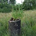 Foto: R.Kaczmarek - Sokolniki Wielkie, osobliwość przyrodnicza. #GminaKaźmierz #PowiatSzamotulski #przyroda #osobliwości #SokolnikiWielkie #wieś #drzewa #roślinność