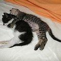 Koty do adopcji #adopcja #adoptuję #Gliwice #koty #pokochaj #psy #schroniska #schronisko #SzukaDomu #śląskie #zwierzęta