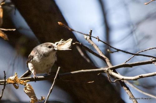 Raniuszek #ptaki #przyroda #natura #raniuszek