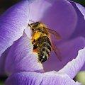 #pszczoła #pszczoły #zwierzęta